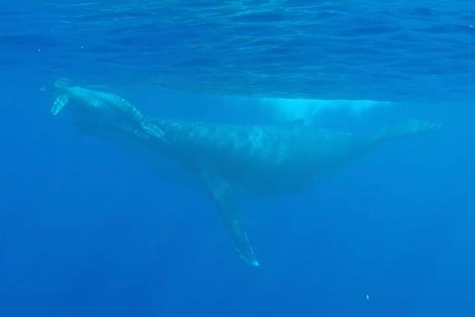 Baleine et son baleineau à Moorea